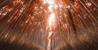 ბამბუკის ტყე კიოტოში