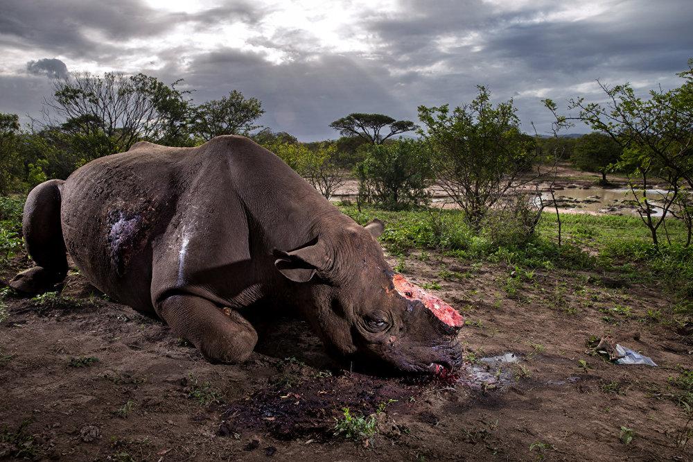 შავი მარტორქა მოჭრილი რქით, რომელიც ადგილობრივმა ბრაკონიერებმა მაყუჩიანი იარაღით მოკლეს სამხრეთ აფრიკაში. ეს სურათი გადაიღო ბრენტ სტირტონმა ჟურნალისათვის National Geographic Magazine, რომელმაც World Press Photo Awards 2017 კონკურსში პირველი პრიზი მოიპოვა კატეგორიაში ბუნება