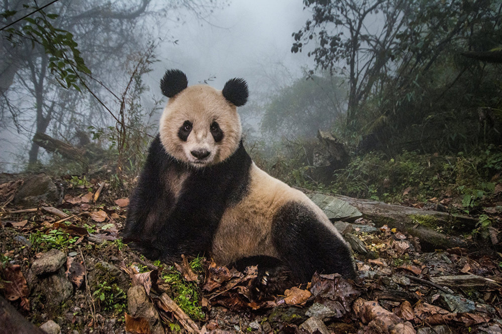 თექვსმეტი წლის პანდა იე-ოე ჩინეთის პანდების გადარჩენის ცენტრში, რომელსაც ყოველ წელს 400 ათასზე მეტი ტურისტი სტუმრობს. ეს ფოტო ამი ვიტალეს ეკუთვნის, რომელიც წარმოდგენილია სერიიდან გაველურებული პანდები. სურათმა World Press Photo Awards 2017 კონკურსშუ მეორე პრიზი მოიპოვა კატეგორიაში ბუნება