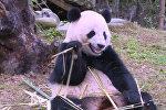 Панда Бао Бао