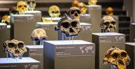 მუზეუმის ექსპოზიცია, რომელიც სხვადასხვა ეპოქების ადამიანების თავის ქალებს წარმოადგენს
