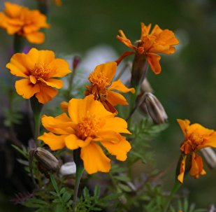 Имеретинская запрана во время цветения