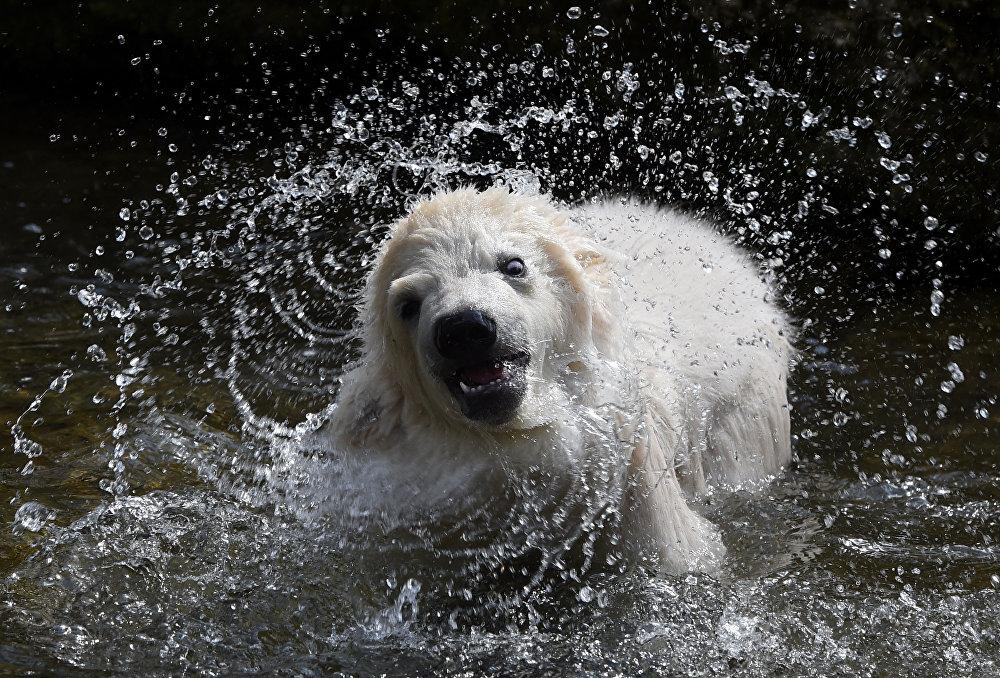 ოთხი თვის დათვი, სახელად კინტანა, ბანაობს მიუნხენის ზოოპარკში