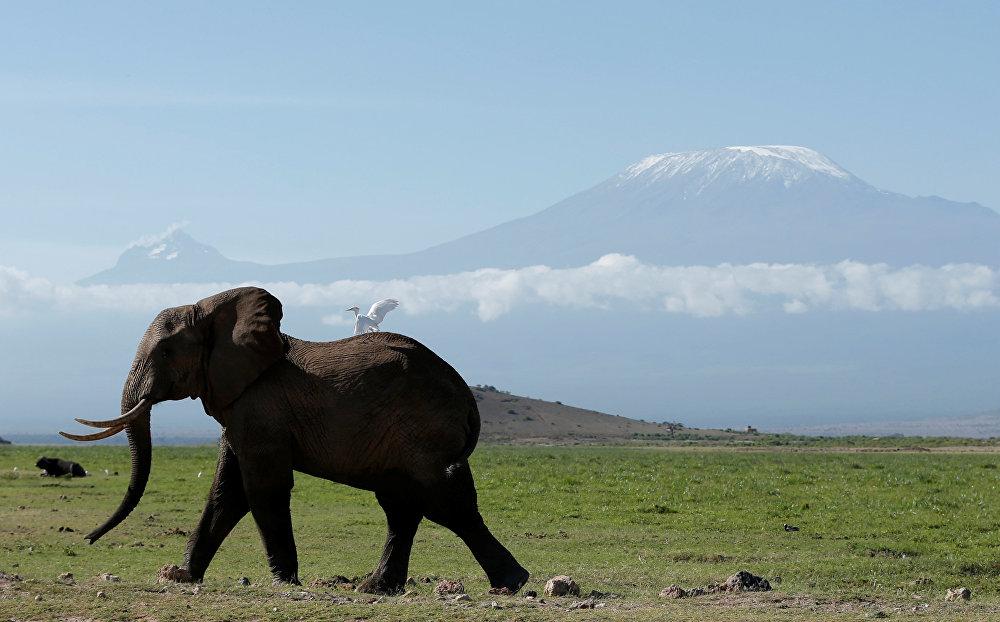 სპილო სეირნობს ამბოსელის ეროვნულ პარკში კილიმანჯაროს მთების ფონზე, კენია