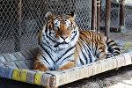Сибирский тигр в зоопарке