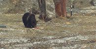 Прогноз погоды от косолапых – как в Ярославле гадали с помощью медведей