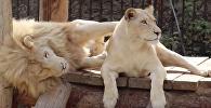 Львы в Тбилисском зоопарке