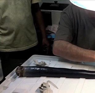 Обнаруженный на Филиппинах гигантский корабельный червь