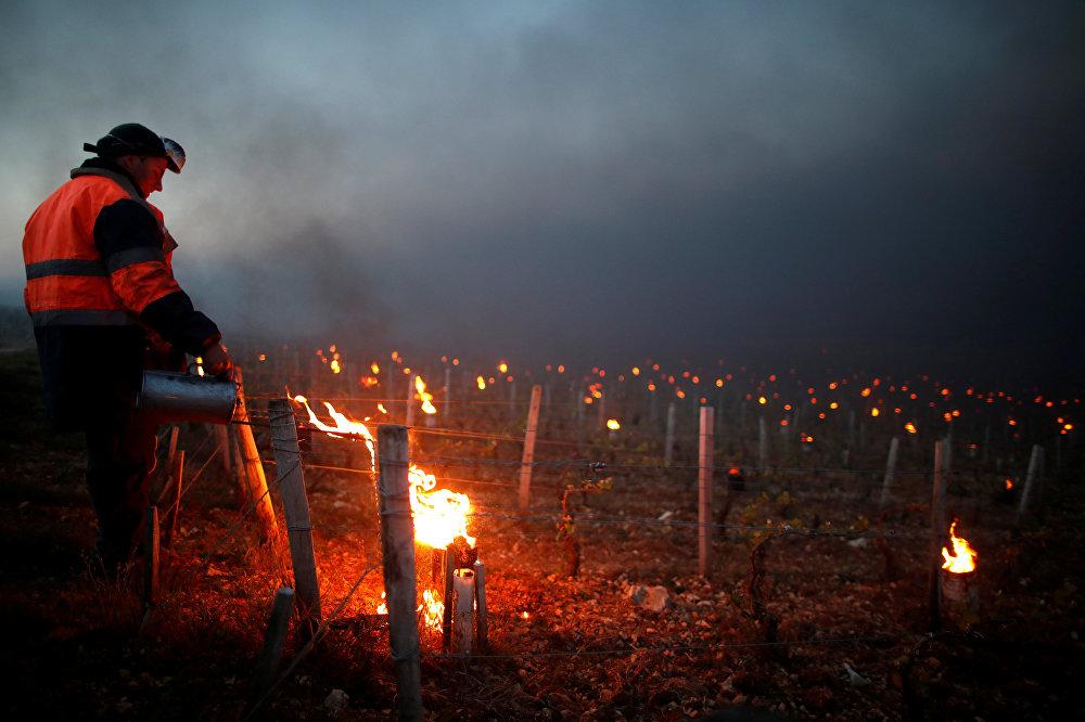 Не только во Франции, но и в Германии и Швейцарии  виноделы разводят костры, чтобы обогреть замерзающий виноград