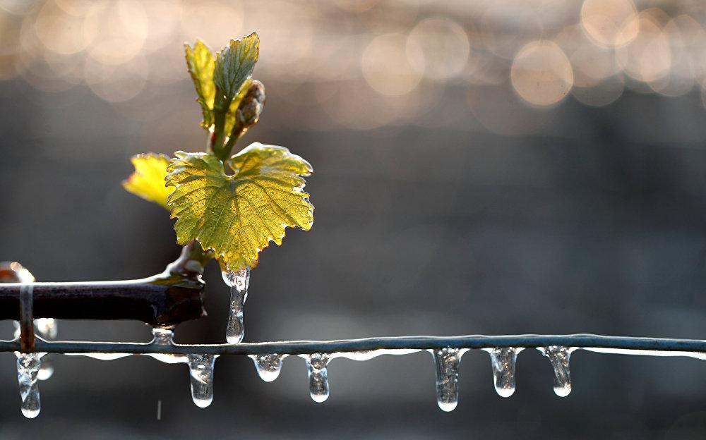 Несмотря на предпринятые в последние дни виноградарями меры, часть виноградников все равно замерзла. На фото - льдинки на виноградниках, пострадавших от мороза в Шабли, Франция