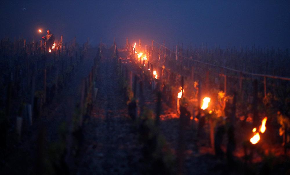 В последний раз виноградники так страдали от мороза во Франции аж в далеком 1981 году
