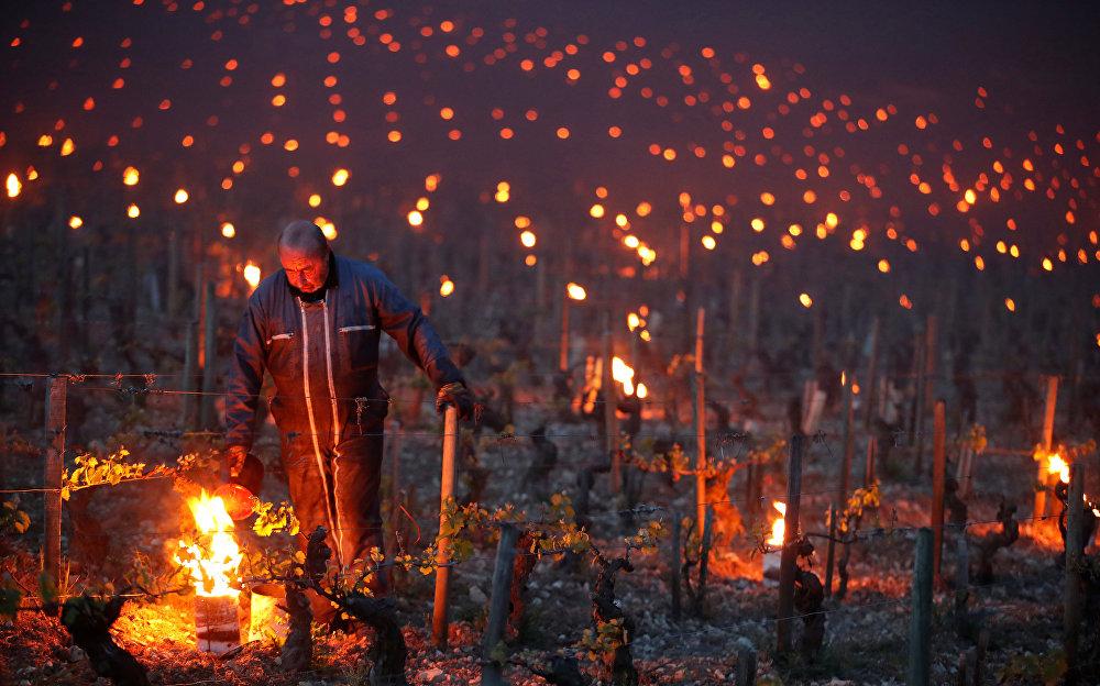 Так рабочие и виноделы на рассвете устанавливают нагреватели, чтобы защитить виноградники от мороза