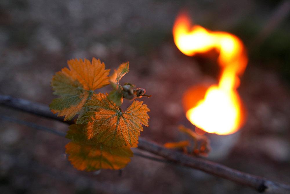 Неожиданные морозы нанесли этой весной огромный ущерб европейским виноделам