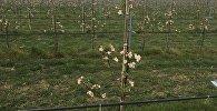 ვაშლის ინტენსიური ბაღები თბილისის მახლობლად სართიჭალაში
