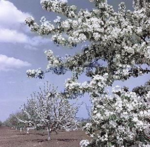 Яблони во время цветения