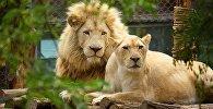 ლომები თბილისის ზოოპარკში