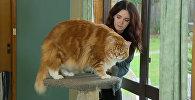 Самый длинный в мире кот: мейн-кун из Мельбурна весит 14 килограмм