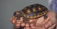 Красноногая черепаха из Московского зоопарка