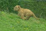 Первая прогулка львенка из зоопарка Далласа