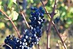 ყურძენი ალავერდის ეპარქიაში