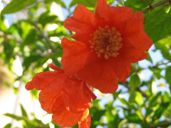 ბროწეულის ყვავილი