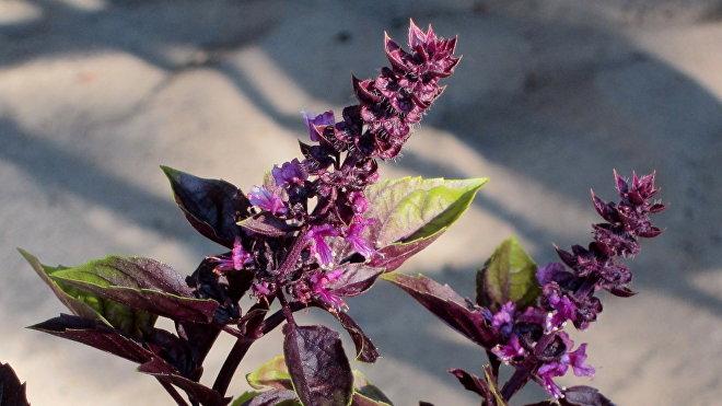 """რეჰანი - Ocimum basilicum """"Red Ruby"""""""