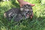 Детеныш дальневосточного леопарда учится рычать и ползать