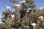 Четвероногие птицы: козы на деревьях в Марокко