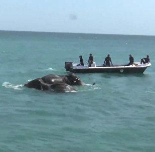 Слоны в море: кадры спасения гигантских четвероногих