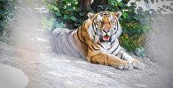Единственному тбилисскому тигру ищут невесту