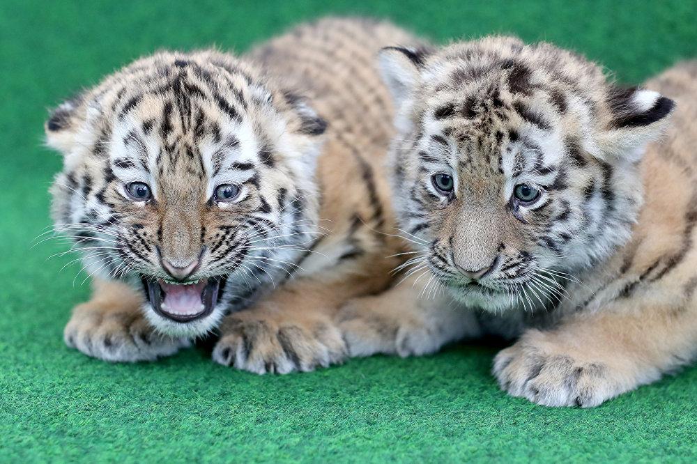Лучшие фотографии самых любимых животных мира— Редкие тигры