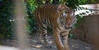 Уссурийский тигр Тори в тбилисском зоопарке