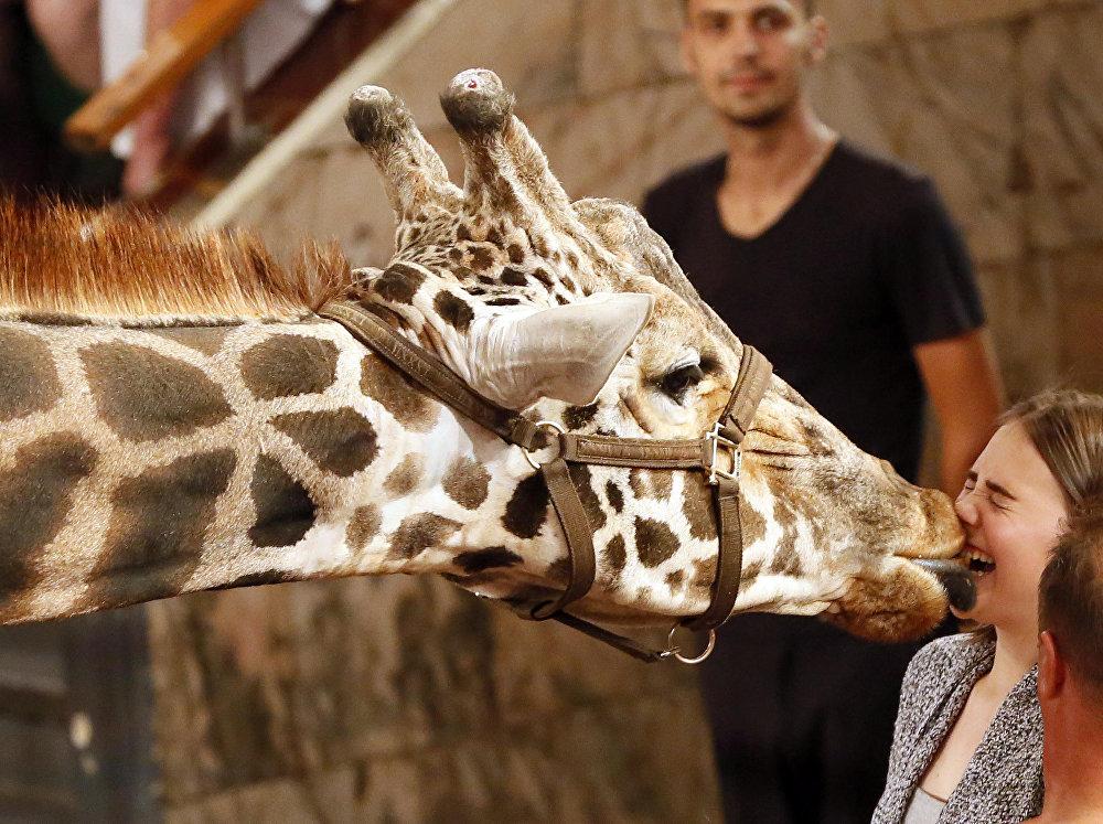 Багир, жираф высотой 5,7 метра, целует зрителя во время шоу Гиганты Африки в Красноярском государственном цирке, Россия