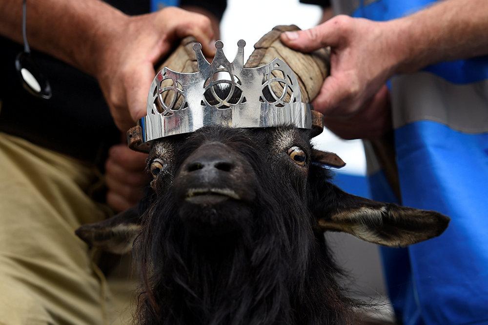 В ирландском городке Киллорглин прошло традиционное чествование короля-козла