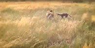 Загадочная чупакабра: бой с неизвестным животным