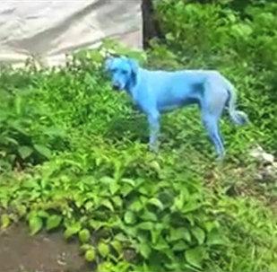 На улицах Мумбая появились голубые собаки