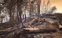 Боржоми-Харагаульский лес после пожара на горе Торта у села Квибиси