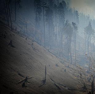 Сгоревшие в результате пожара в Боржоми-Харагаульском лесу деревья