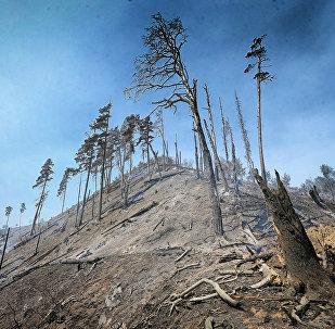Сгоревшие деревья в Боржоми-Харагаульском лесу после пожара