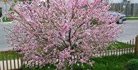 აყვავებული ნუშის ხე