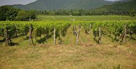 Виноградники в Кварельском районе