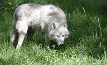 Белый волк в зоопарке Франции