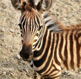 Саванная зебра