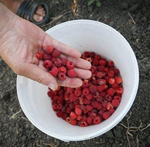 Сбор урожая малины