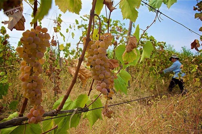 Ртвели - сбор урожая винограда