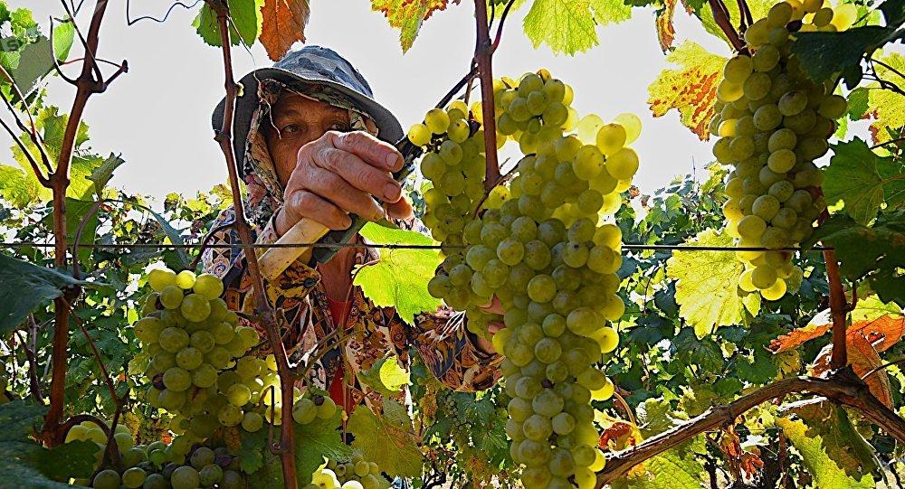 Ртвели - сбор урожая винограда в регионе Кахети