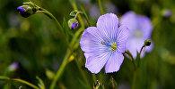 სელის ყვავილები