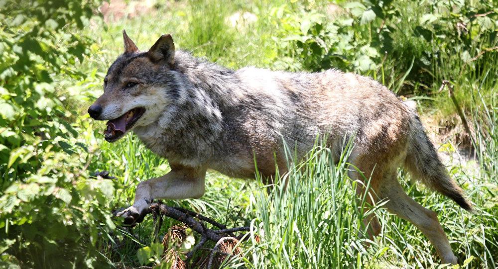 ევროპული ნაცარა მგელი