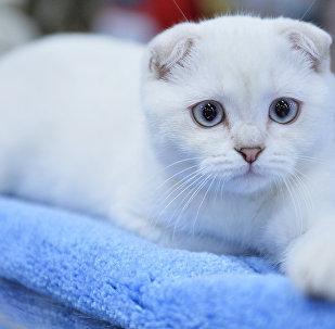 Кошка породы шотландская вислоухая (скоттиш-фолд)