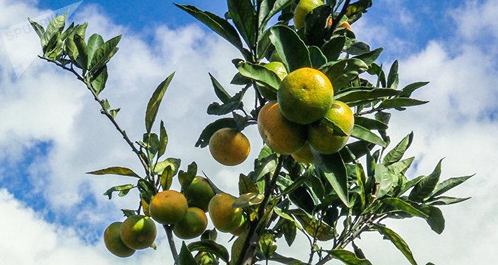 Мандарины из Аджарии на экспорт: как выглядят цитрусовые плантации